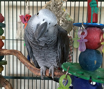 Oscar, our African Grey Parrot