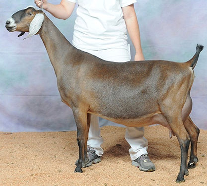 GCH Redwood Hills Atlas Topaz 9*M